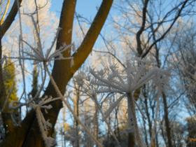 Winter Haw Frost in December 2010